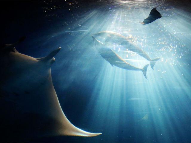 a-manta-ray-and-dolphins-swim-at-black-current-sea-tank-japan
